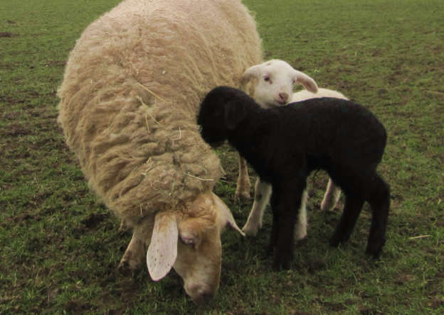 Sheep with black and white twin lambs