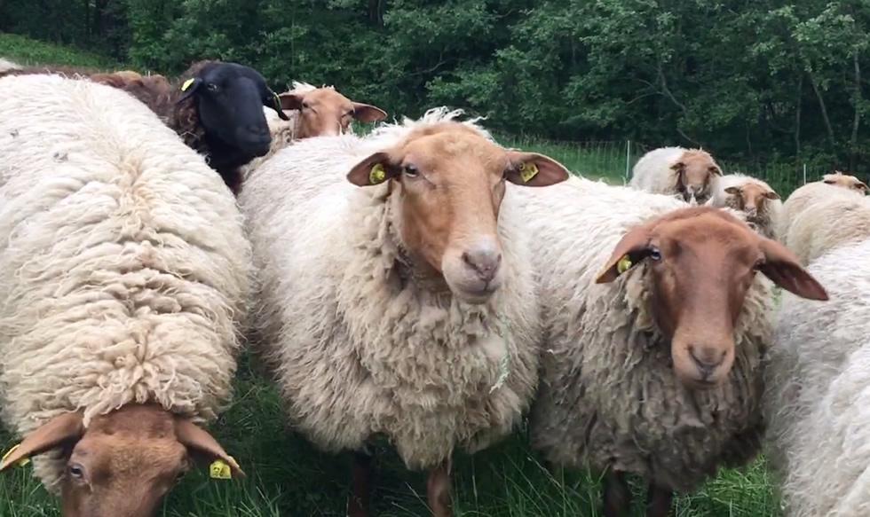 Coburg fox sheep raw wool